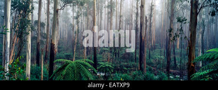 A fog filled valley of towering Mountain Ash trunks and Tree Ferns. - Stock Photo