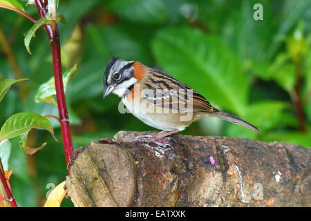A rufous-collared sparrow, Zonotrichia capensis, foraging on a log. - Stock Photo