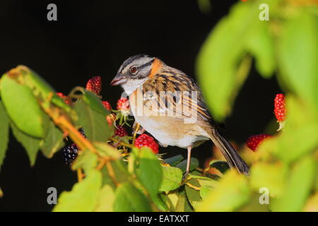 A rufous-collared sparrow, Zonotrichia capensis, eating black berries. - Stock Photo