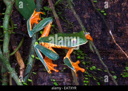 A splendid leaf frog, Cruziohyla calcarifer, foraging in a rain forest. Stock Photo