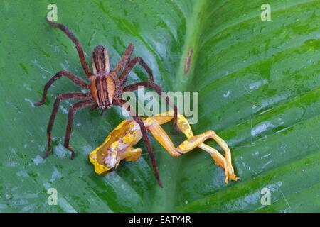 A wandering spider, Cupiennius getazi, with hourglass tree frog, Hyla ebrecattus, prey. - Stock Photo