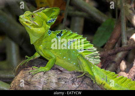 A beautiful plumed basilisk, Basiliscus plumifrons, basking on a fallen coconut. - Stock Photo