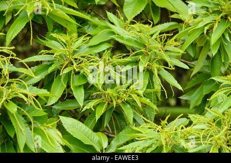 Sweet chestnut (Castanea sativa) - Stock Photo
