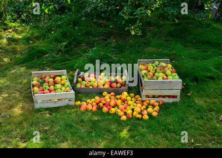 Harvest of apples 'Reine des reinettes' (Malus domestica). - Stock Photo