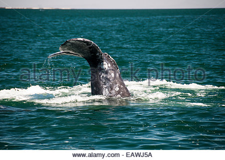 The tail flukes of a gray whale, Eschrichtius robustus, diving. - Stock Photo