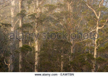 Karri trees, Eucalyptus diversicolor, in morning fog at Warren National Park in Western Australia. - Stock Photo