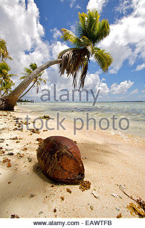 A coconut sits comically on a beach, seeming to have fallen out of a miniature tree. - Stock Photo