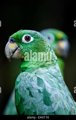 A pair of Chapman's Mealy Amazon Parrots with their hooked beaks and green plumage. - Stock Photo