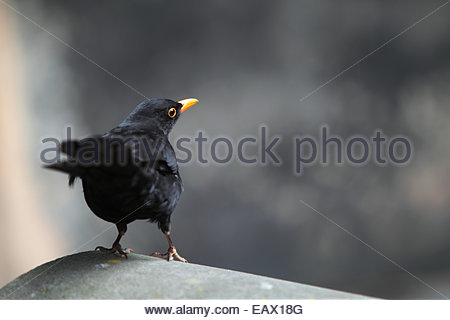 Portrait of an Eurasian blackbird. The common or Eurasian blackbird, Turdus merula, is a highly adaptable species. - Stock Photo