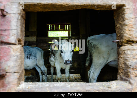 White cows with yellow tags in their ears in a stable - Stock Photo
