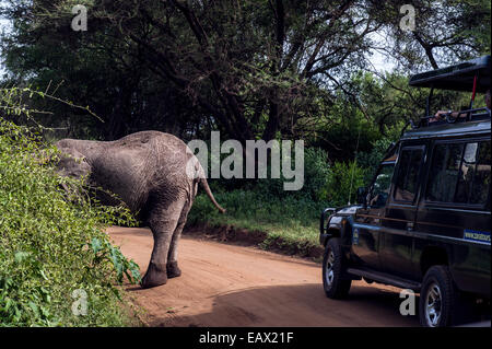 A safari vehicle passes an African Elephant feeding on a bush by the side of the road. - Stock Photo