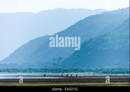 A herd of Giraffe walking along the shore of soda lake in a wide valley. - Stock Photo