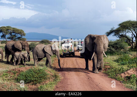 A herd of African Elephants and calf crossing a road between tourist safari vehicles. - Stock Photo