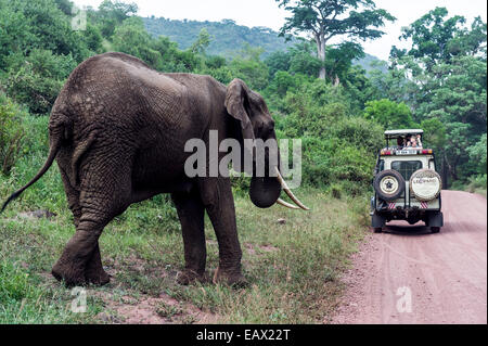 Tourists in a safari 4WD watching an African Elephant feeding beside a dirt road. - Stock Photo