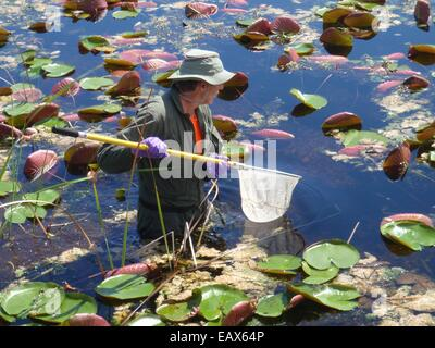 An EPA scientist collects a fish sample to be analyzed for mercury in the Everglades National Park during the Environmental - Stock Photo