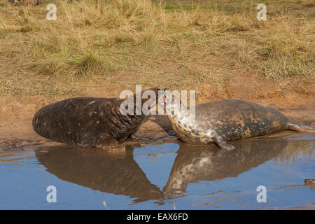 Grey seal bull and cow (genus Halichoerus Grypus), Donna Nook Nature Reserve, Lincolnshire, England UK - Stock Photo