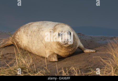 Grey seal pup (genus Halichoerus Grypus), Donna Nook Nature Reserve, Lincolnshire, England UK - Stock Photo