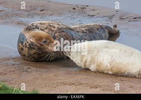 Grey seal mother with pup (genus Halichoerus Grypus), Donna Nook Nature Reserve, Lincolnshire, England UK - Stock Photo