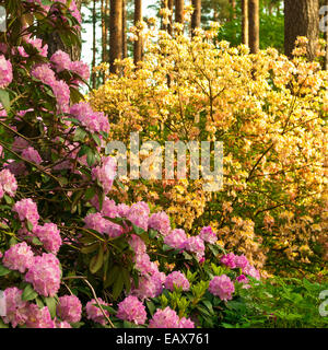 Late spring. Magnificent blossoming of rhododendrons - Stock Photo
