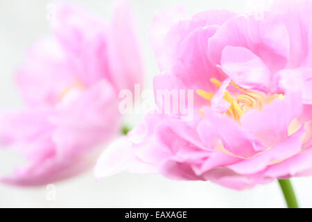 two lilac perfection tulips, flowing and ethereal Jane Ann Butler Photography JABP393 - Stock Photo