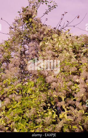 Clematis vitalba 'Old Man's Beard' - Stock Photo