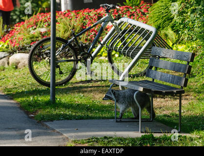 Raccoon in Stanley Park, Vancouver, Canada with park bench and bike - Stock Photo