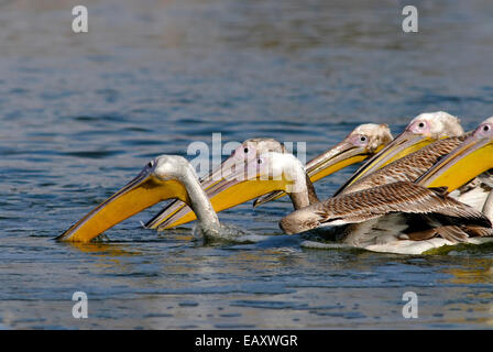 Young Pelican fishing team - Stock Photo