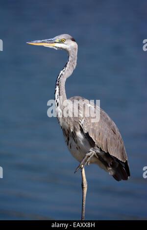 Grey heron, Ardea cinerea, Standing on one leg - Stock Photo