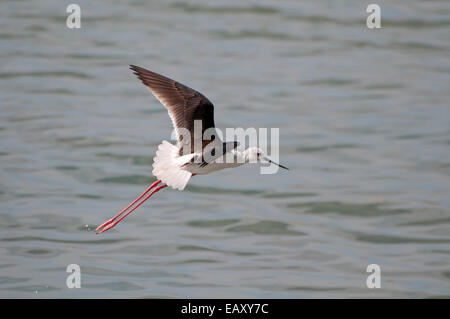 white-headed stilt ,Himantopus leucocephalus flying over water - Stock Photo
