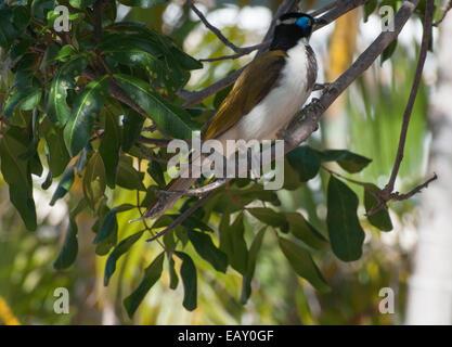 Blue-faced honeyeater or banana-bird at Caloundra, Sunshine Coast, Queensland - Stock Photo