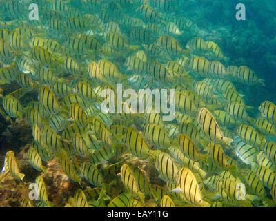 School of Convict Tangs (Acanthurus triostegus), Hanauma Bay Nature Preserve, Oahu, Hawaii, USA - underwater - Stock Photo