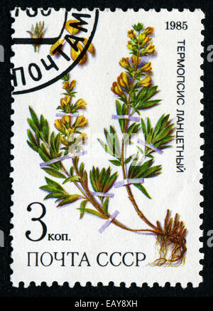 RUSSIA - CIRCA 1985: post stamp printed in USSR (CCCP, soviet union) shows yellow plant of Thermopsis lanceolata - Stock Photo