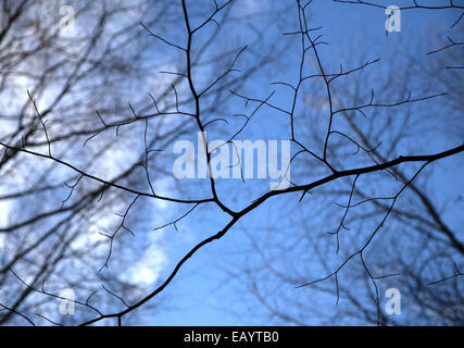Looking up through beech tree twigs and branches in Autumn after leaf fall - Stock Photo