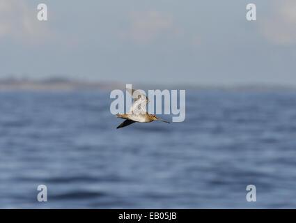 Common Snipe - Gallinago gallinago - Stock Photo