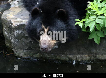 Spectacled or  Andean bear (Tremarctos ornatus) close-up while drinking water, making eye-contact - Stock Photo