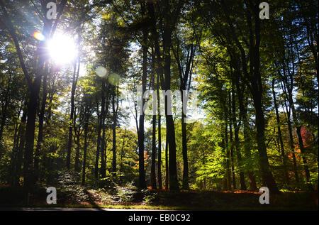 backlit beech forest Netherlands Europe - Stock Photo