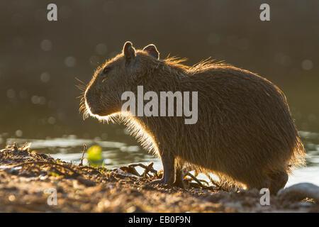 Backlit baby capybara (Hydrochoerus hydrochaeris) portrait, Los Ilanos del Orinoco, Venezuela. - Stock Photo