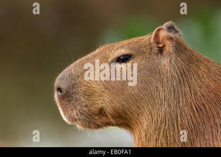 Female capybara (Hydrochoerus hydrochaeris) staring intensely, early in the morning in Los Ilanos del Orinoco, Venezuela. - Stock Photo
