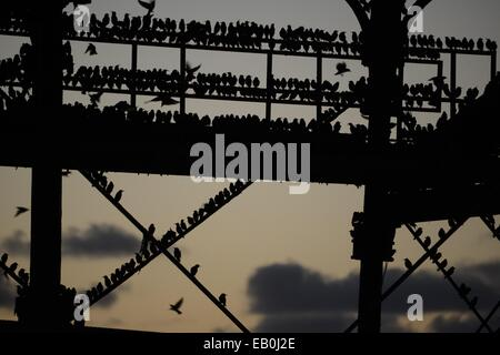 Aberystwyth Wales UK. Sunday 23 November 2014  Tens of thousands of starlings flying in at dusk to roost for the - Stock Photo