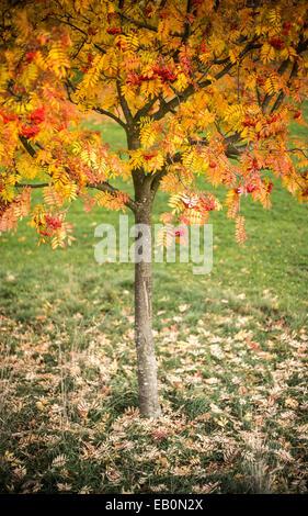 Rowan Tree in Autumn - Stock Photo