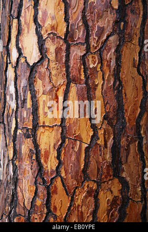 Texture background of brown bark of pine tree - Stock Photo