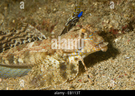 Fingered Dragonet closeup showing modified fin used to 'walk' on the ocean floor (Dactylopus dactylopus) Lembeh - Stock Photo