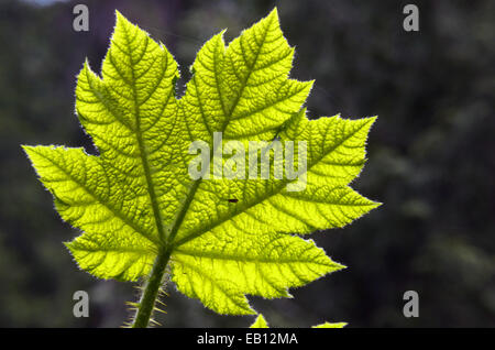 Close up of a devil's club leaf in the Ross Creek Cedars Research Natural Area. Cabinet Mountains in the Kootenai - Stock Photo