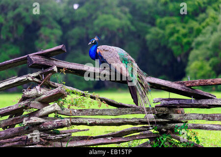A Male Indian Peacock Resting on a Wooden Fence, Magnolia Plantation, Charleston, South Carolina - Stock Photo