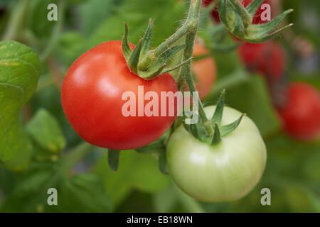 Ripe fresh tomatoes growing on the vine. - Stock Photo
