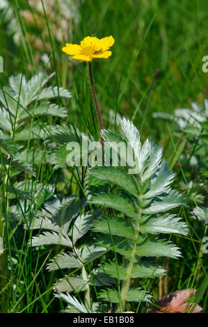 Silverweed - Potentilla anserina Single flower and leaves - Stock Photo