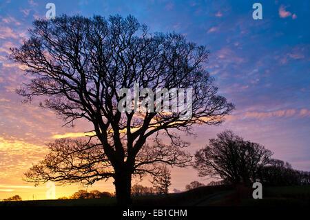 Wigton, Cumbria, UK. 24th Nov, 2014. A line of trees silhouetted against the dawn sky in farmland near Wigton, Cumbria, - Stock Photo