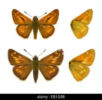 Large Skipper - Ochlodes venatus. (Male - top; Female - bottom) - Stock Photo