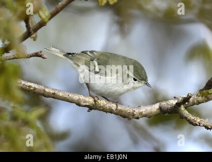 Hume's Leaf-warbler - Phylloscopus humei - Stock Photo