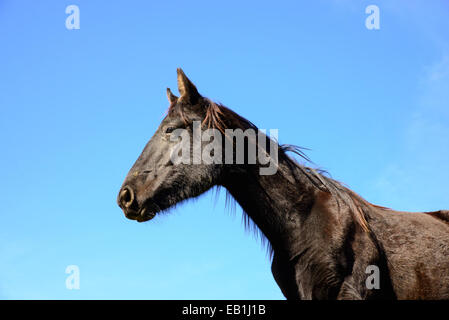 close up black horse on a blue sky - Stock Photo